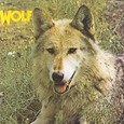 Wolf / [1] Canis Lupus